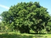 banyan-tree-shaheedi-bohr