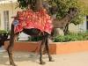 camel-ride-at-jaigarh-fort