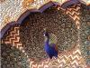 jaipu-peacock.jpg