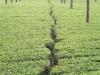 munnar-tea-plantation-summer.jpg