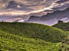 munnar-tea-plantation.jpg