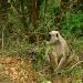 monkey-at-jim-corbett-natio.jpg