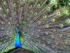 peacock-jim-corbett-nation.jpg