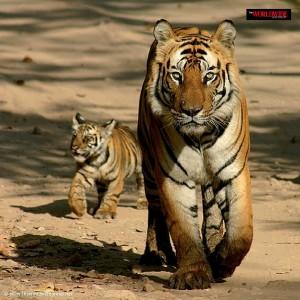 Tiger at jim corbet national park