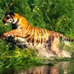Sariska-Tiger_11138