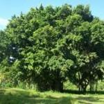 Banyan Tree Shaheedi Bohr